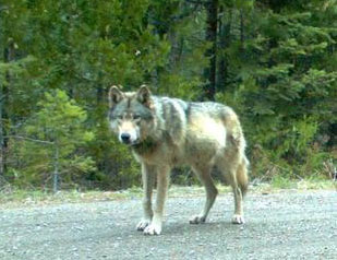 With Only 81 Wolves in Oregon, Endangered Species Protection Stripped